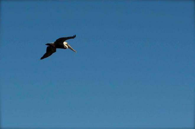 pelican over the boardwalk