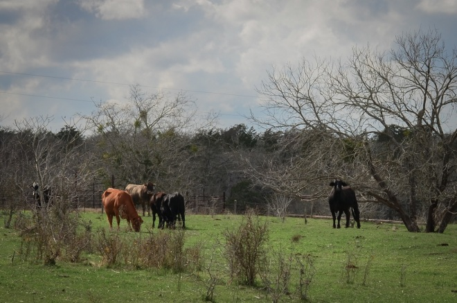 cattle lease