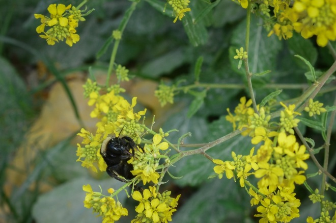 Bumblebee on wild mustard in front of well