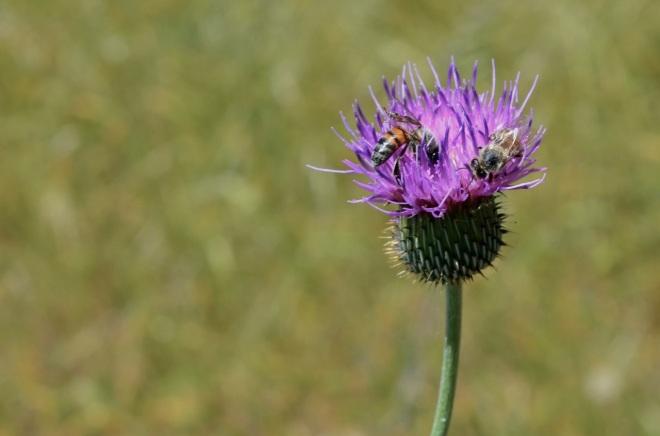Bees on nettle Rita Vista