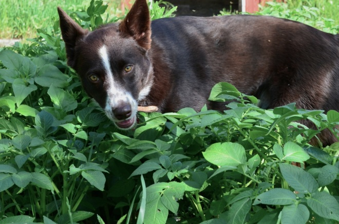 Bob loves walk slowly through the potato patch sucking-up the aromas and getting it all over him.