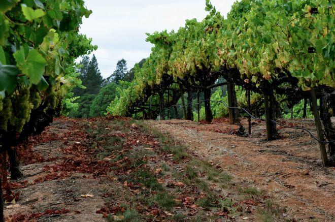 chardonnay rows