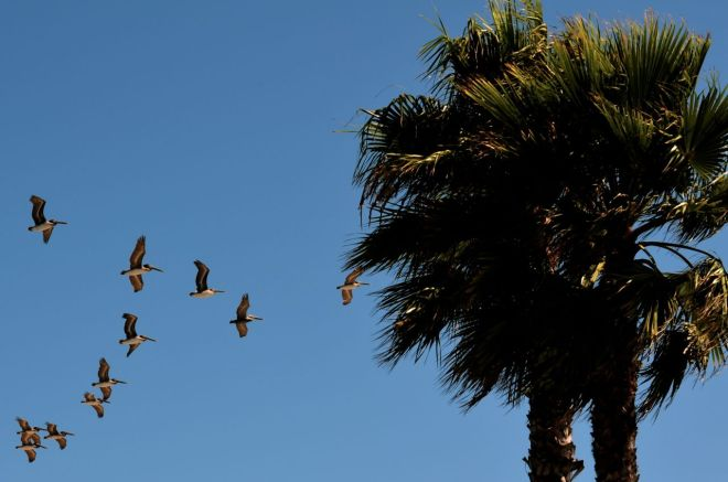 pelicans Santa Barber Harbor
