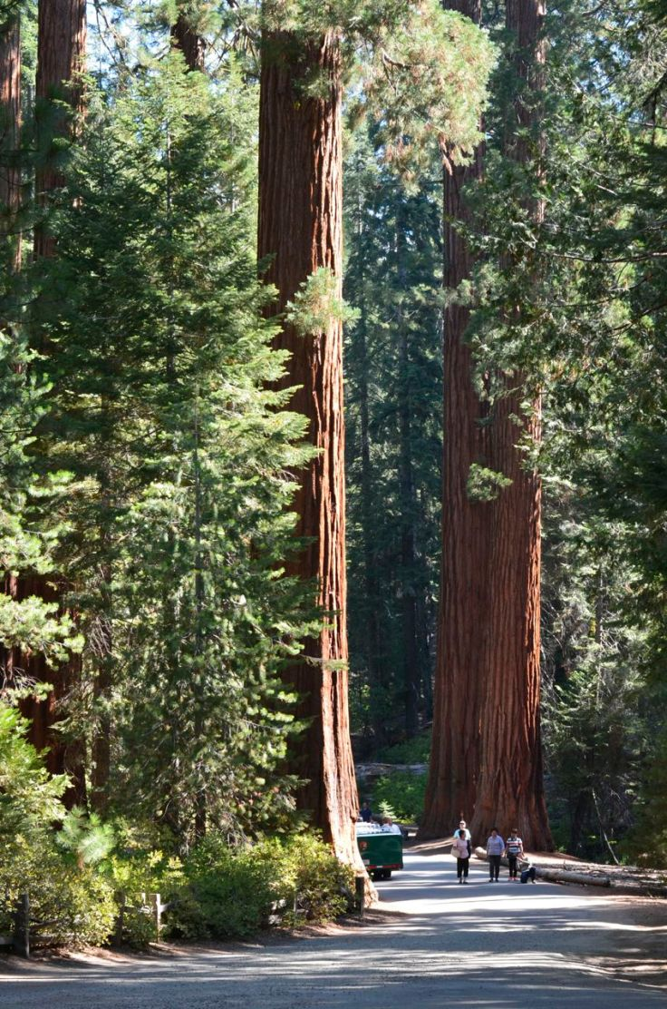 people relative to redwoods