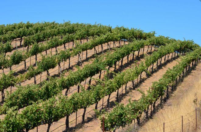 rolling hill vineyard on Silverado Trail