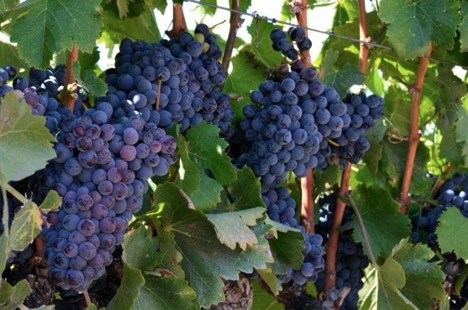 Syrah grapes at Zaca Mesa 2