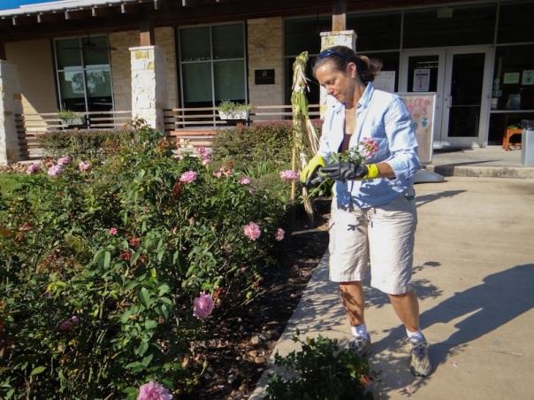 Margaret tending roses at The Parish School 8x6