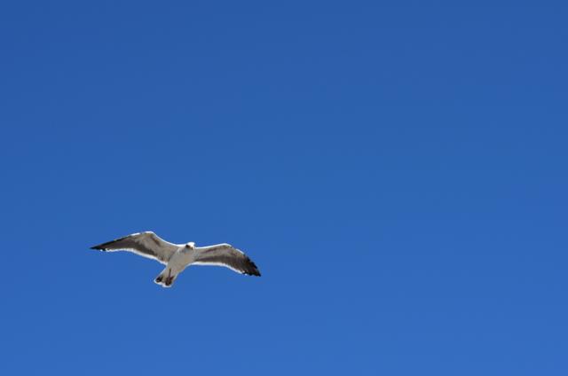 Seagull over Santa Barbara Harbor