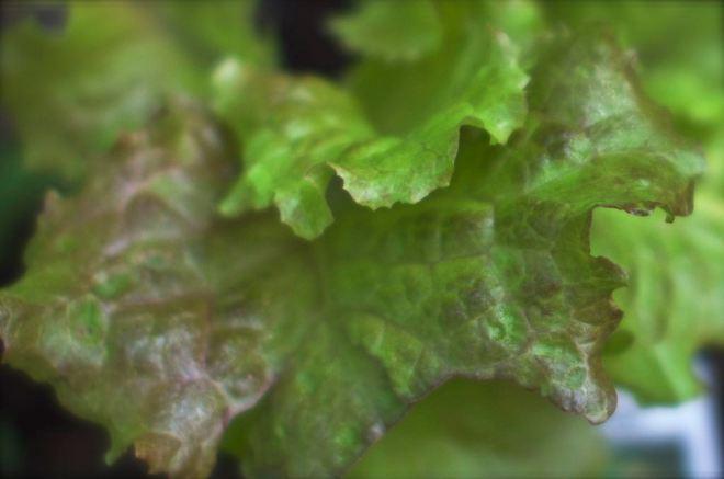 Lettuce almost