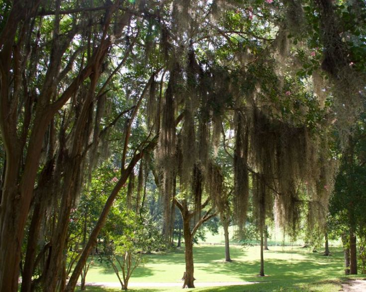 Spanish Moss - Historic Home Natchez Trace