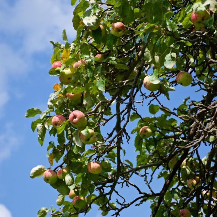 Wild Apples 1