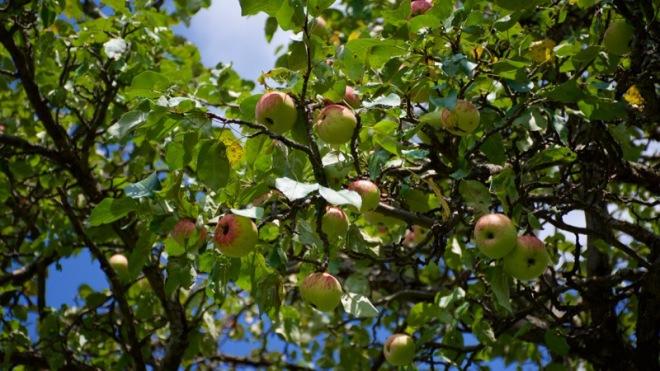 Wild Apples 2